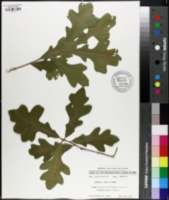 Image of Quercus alba x lyrata