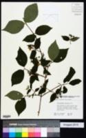 Philadelphus hirsutus image