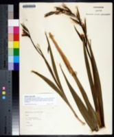 Gladiolus italicus image