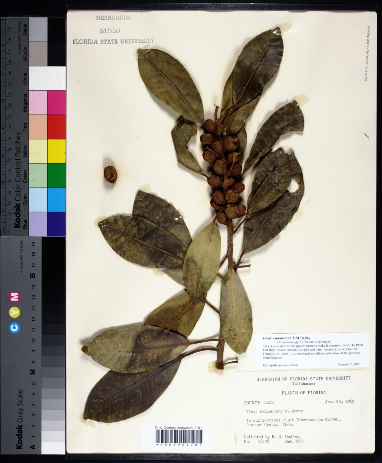 Ficus watkinsiana image