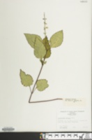 Image of Scutellaria serrata