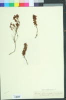 Image of Erica herbacea