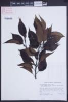Ilex macfadyenii image