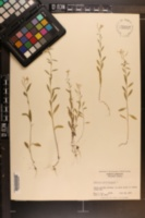 Erysimum cheiranthoides image