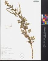 Arivela viscosa image