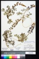 Lupinus perennis subsp. gracilis image