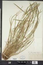 Carex ormostachya image