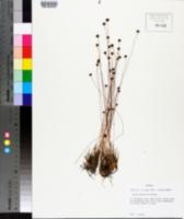 Xyris brevifolia image
