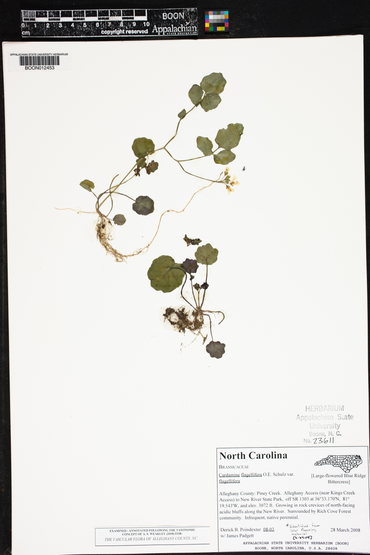 Cardamine flagellifera var. flagellifera image