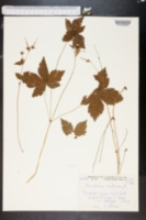Geranium nodosum image