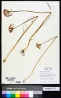 Allium runyonii image