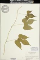 Menispermum canadense image