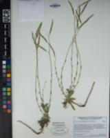 Boechera elkoensis image