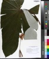 Cecropia palmata image