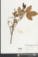Image of Flemingia macrophylla
