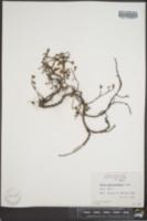 Salix arctolitoralis image