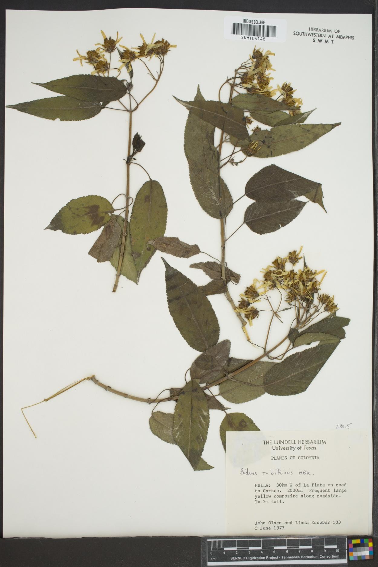 Bidens rubifolia image