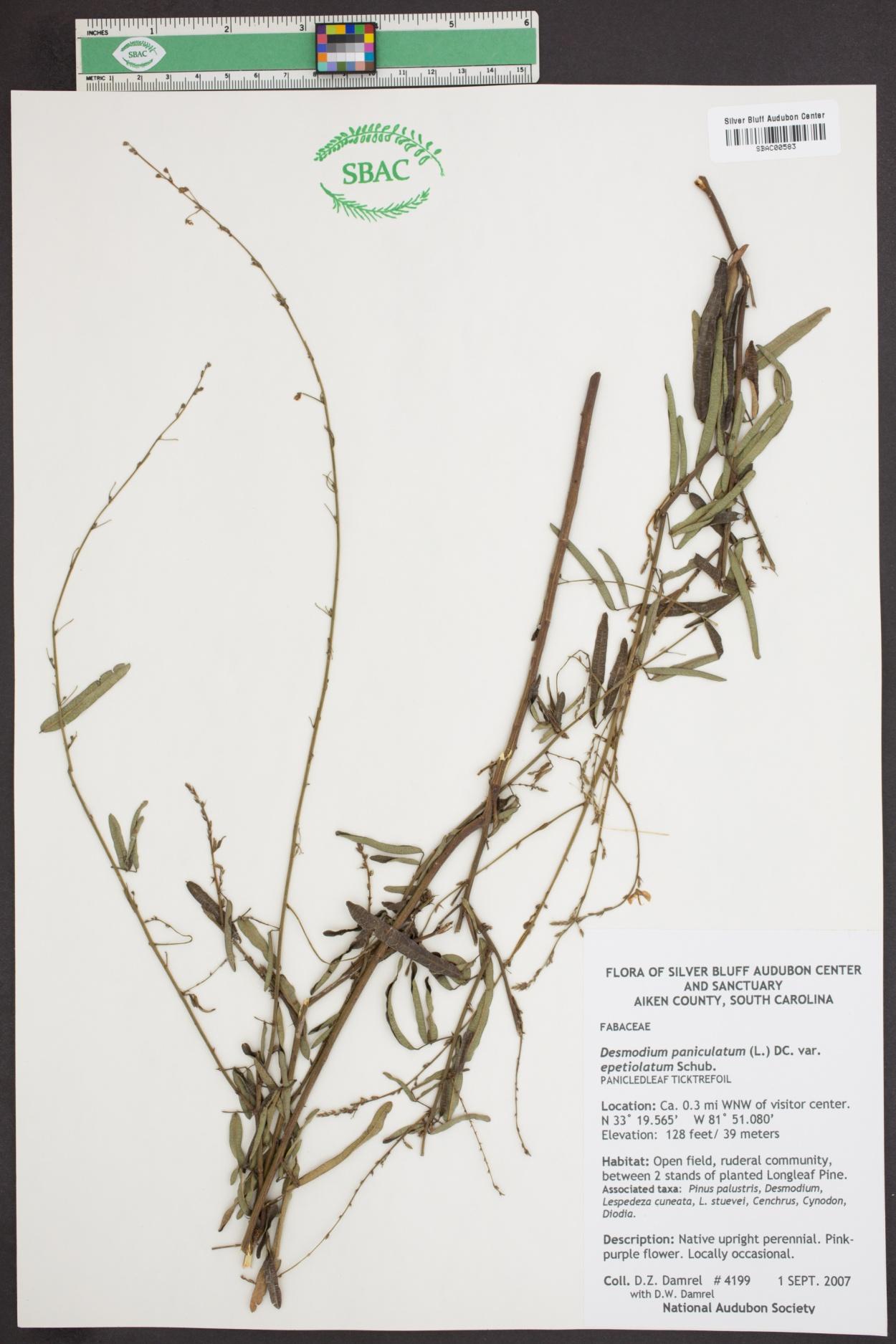 Desmodium paniculatum var. epetiolatum image
