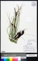 Image of Schoenocaulon tenorioi