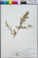 Chenopodium berlandieri var. sinuatum image
