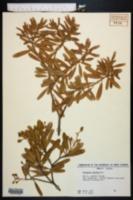 Image of Jacquinia keyensis