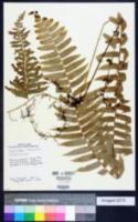 Nephrolepis hirsutula image
