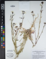 Eruca vesicaria subsp. sativa image