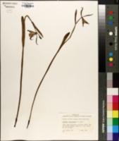 Cleistesiopsis oricamporum image