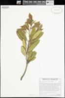 Heteromeles arbutifolia image