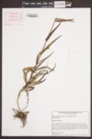 Phlox carolina subsp. angusta image