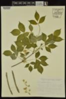 Staphylea trifolia image