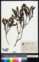 Image of Baccharis caprariifolia