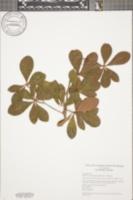 Image of Buchenavia tetraphylla