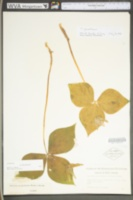 Trillium grandiflorum image