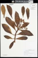 Image of Broussaisia arguta