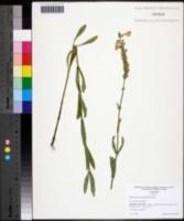Image of Physostegia angustifolia