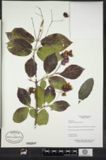 Euonymus sachalinensis image