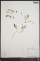 Image of Astragalus amblyodon