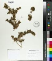 Image of Rhipsalis cereuscula