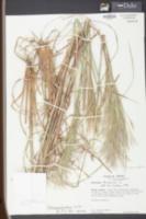 Andropogon floridanus image