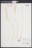 Sphenopholis pensylvanica image