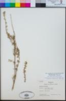 Image of Clinopodium chilense