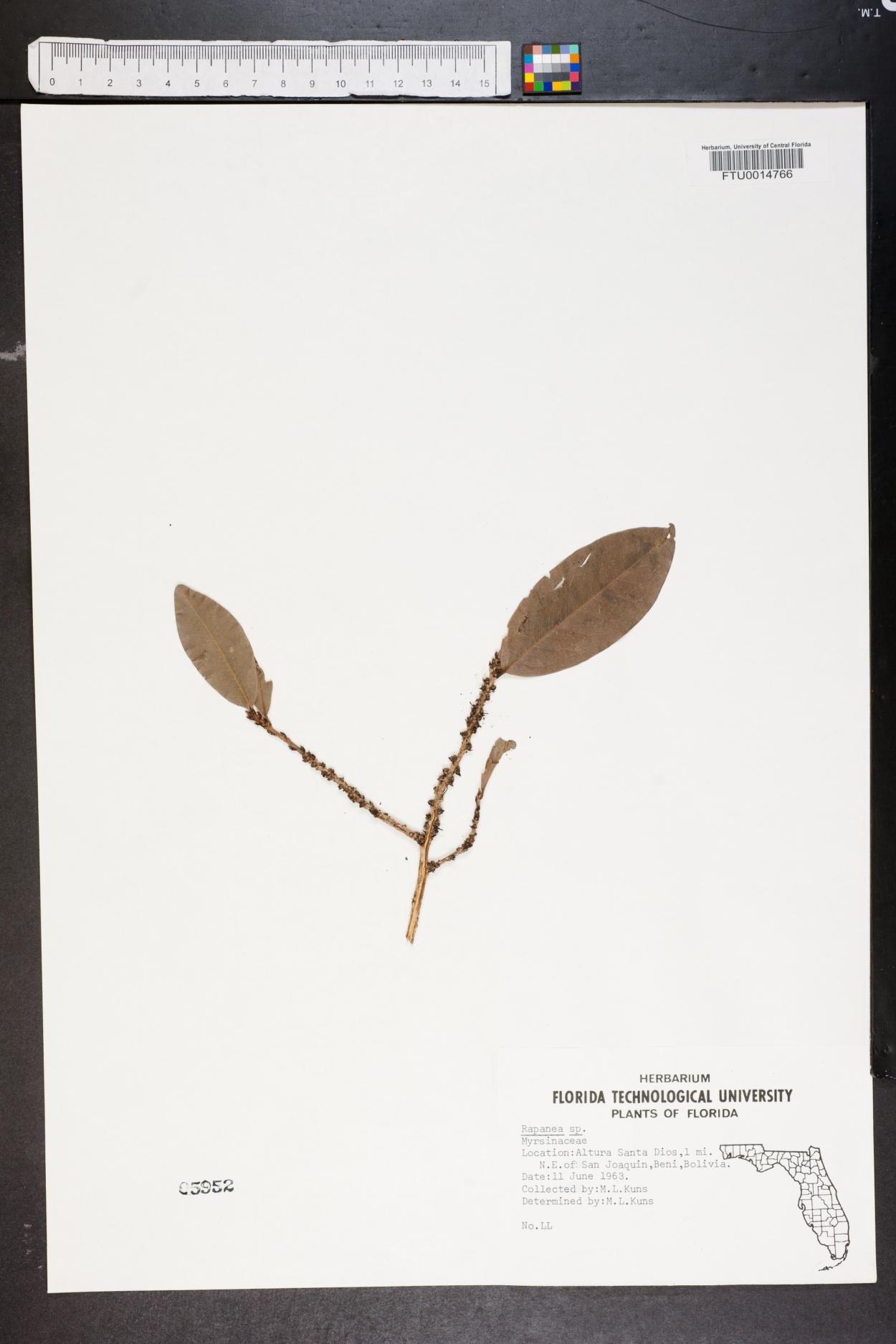 Rapanea image