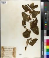 Image of Acalypha communis