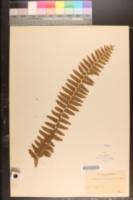 Image of Nephrolepis biserrata
