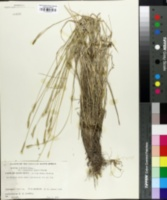 Image of Hordeum chilense