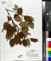 Image of Betula potaninii