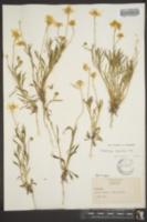 Tetraneuris linearifolia image