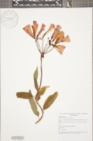 Image of Bomarea costaricensis