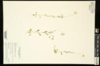 Image of Astranthium ciliatum